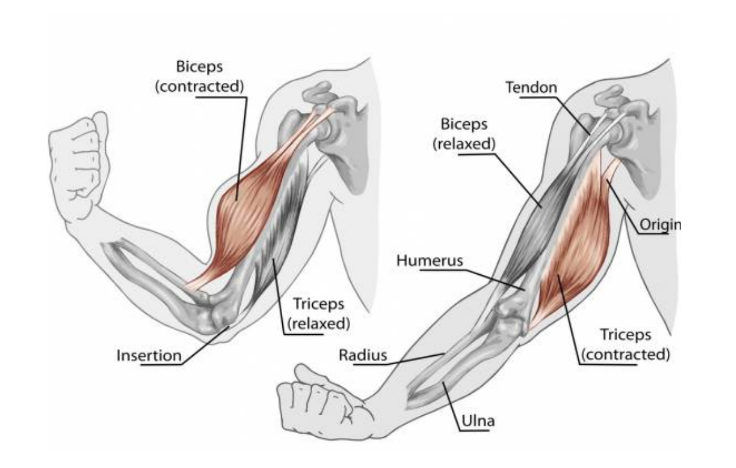 Cross-section diagram shows muscles in the arm