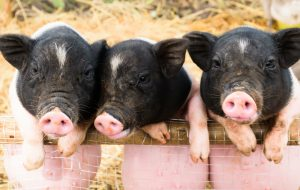 The Three Little Pigs can teach us about secrets to health and healing