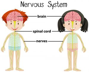Diagram of the nervous system